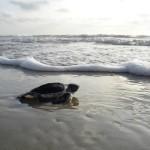 Sand Green Sea Turtle Beach Surf Hatchling Ocean