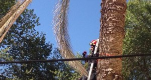 Palmenrüsselkäfer