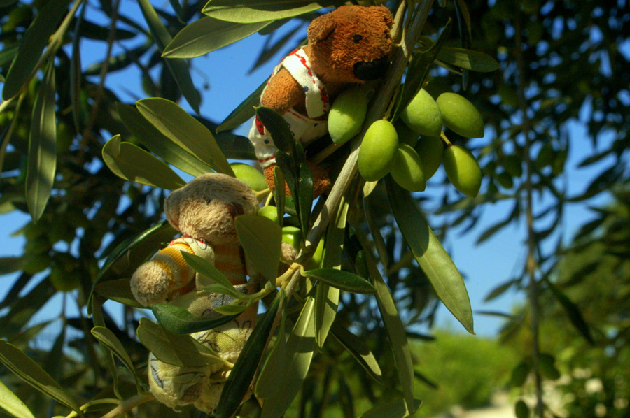 Das Bärchenbuch: Wo kommen die Oliven her?